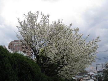 世田谷公園桜1.jpg
