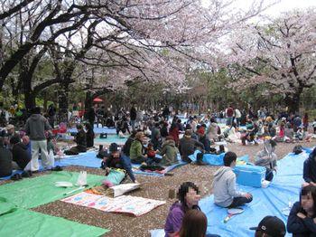 世田谷公園桜4.jpg