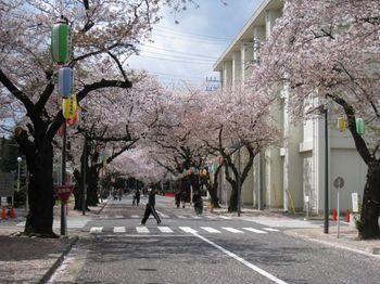 自衛隊桜.jpg